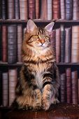 Brown Tabby Maine Coon cat in library poster