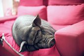 big black piggy on a pink sofa poster