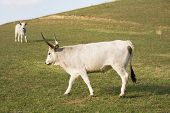 A special breed the hungarian gray cattle grazing. poster
