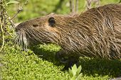 A Nutria Feeding On Aquatic Plants on the banks of a pond poster