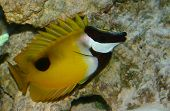 foxface reef fish poster