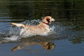 Yellow Labrador Retriever dog jumping into the water poster