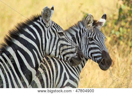 Common Zebras