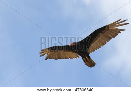Turkey Vulture scavanging for food