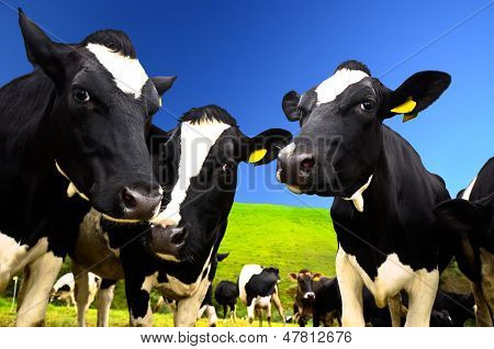 Black and white cows on the field