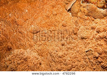 mushroom coral (podobacia crustacea) taken in the red sea. poster