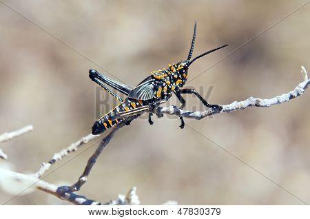 A Grasshopper. Madagascar.