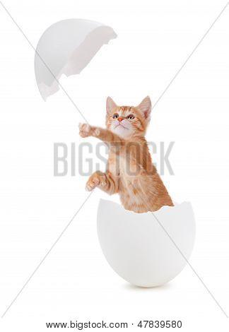 Cute Orange Kitten Hatching From An Egg.