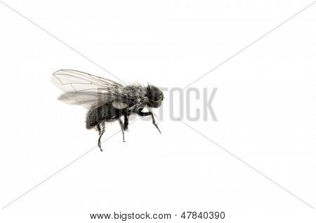 Closeup of common housefly with wings and legs isolated on white