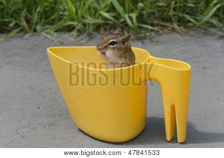 A friendly but sneaky Eastern chipmunk (Tamias (Tamias) striatus) sitting in a yellow bird seed scoop on the pavement with only her head and neck showing above the scoop at an oblique angle to the camera with grass in the background. poster