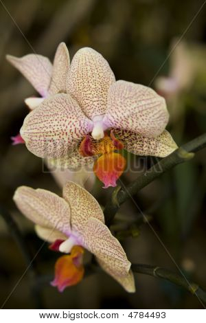 Polka Dotted Orchids