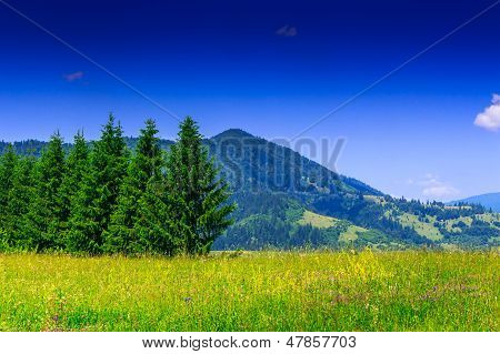 Meadow With Fir Trees On Background Of The High Mountain