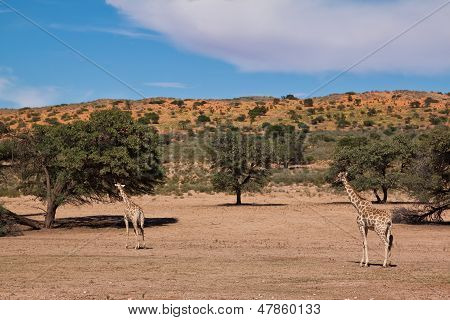 Two Giraffe Walking In The Desert Dry Landscape