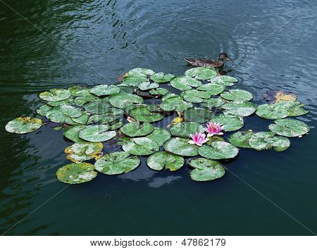 Lotuses in nature and wild duck.