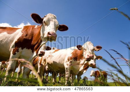Montbeliarde cattle in the meadow