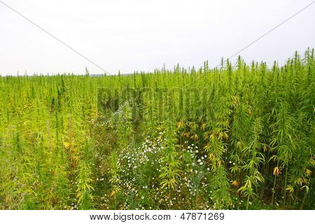 hemp cannabis field in france