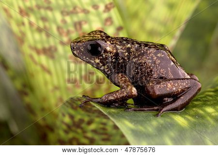tropical poison arrow frog from Amazon rain forest in Peru this beautiful Amphibian Oophaga sylvatica is a poisonous exotic animal from the jungle in Peru