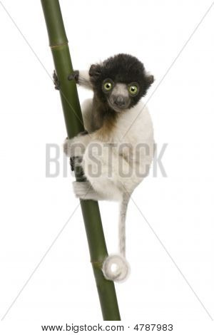 Young Crowned Sifaka - Propithecus Coronatus (3 Months)