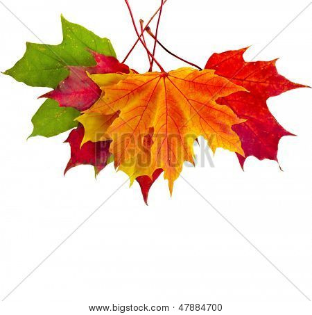 colorful autumn fall leaves maple isolated on white background  poster