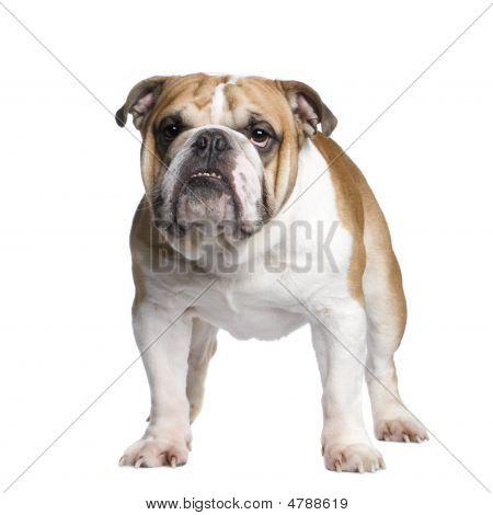 Bulldog Inglés (3 años)