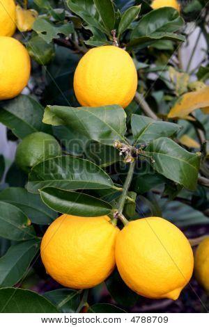 Bright Yellow Meyer Lemons