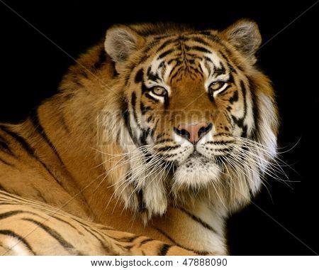 Portrait of a tiger against black background