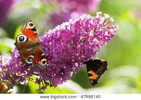 Peacock- And Small Tortoiseshell Butterflies On Butterfly Bush