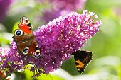 Pink butterfly bush flowers in summer with Peacock- and small tortoiseshell butterflies poster