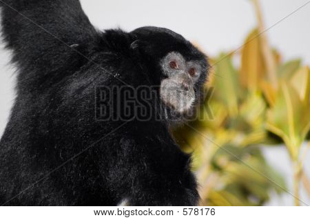 Siamang Amongst The Canopy