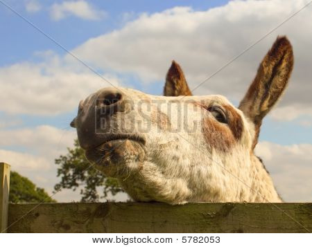 a friendly donkey looking over a fence poster
