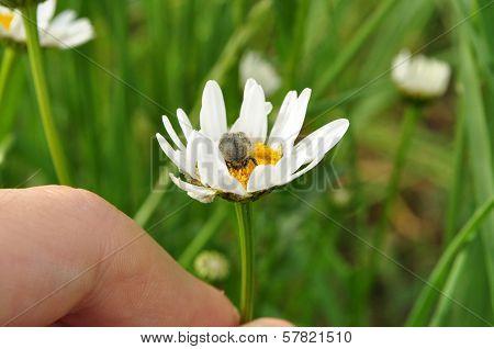 Scarab Beetle (tropinota Hirta)