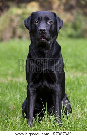 Black Labrador Sitting On Green Grass