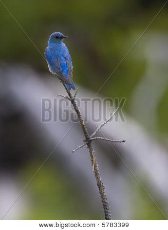 Blue Bird On His Perch