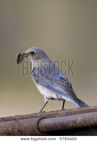 Female Blue Bird With A Grub In Her Bill
