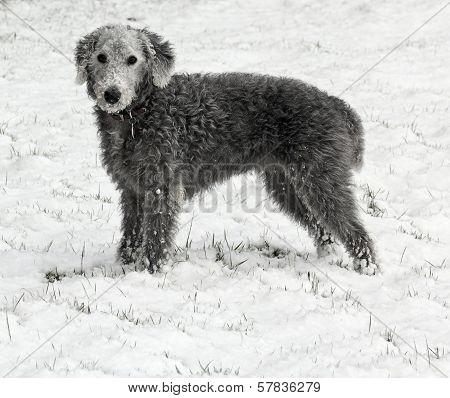 Bedlington Terrier In Snow