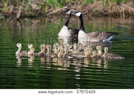 A group of Canadian goslings swimming together