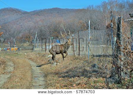 Deer On Garden