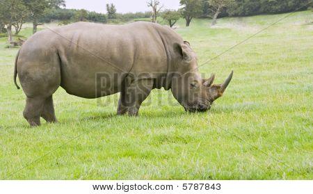 A single adult rhinoceros grazing on grassland poster