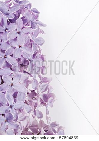 Blooming lilac flowers.  isolate Background macro photo poster
