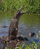 Attack crocodile. Cuban Crocodile ( crocodylus rhombifer ).Cuba poster
