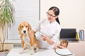 Veterinarian measures the body temperature of a beagle dog poster
