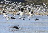Hundreds of snow geese taking off from lake at Bosque del Apache Wildlife Reserve in New Mexico. poster