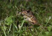 adult common frogs have a body length of between five and nine centimetres and their backs and flanks vary in colour, with olive green grey-brown, brown, olive-brown, grey, yellowish or rufous possible. poster