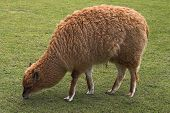 Young llama pasturing on green grass lawn poster