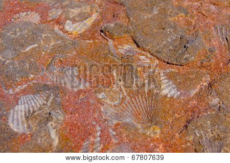 Fossilized shells detail