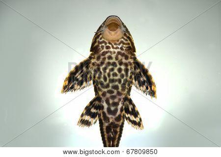 Pleco Catfish Plecostumus fish
