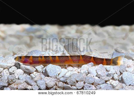 Kuhli Loach Catfish Pangio kuhlii