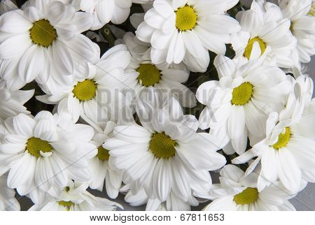 Background Of Chrysanthemums