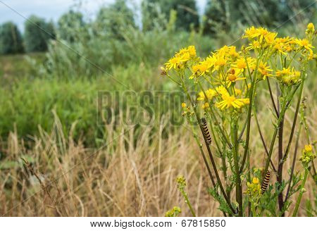 Yellow Flowering Ragwort Plant With Caterpillars.