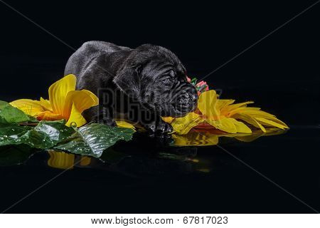 Black great dane puppy with flowers on the black background poster